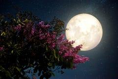 Den härliga körsbärsröda blomningen sakura blommar med Vintergatanstjärnan i natthimlar; fullmåne Arkivbild