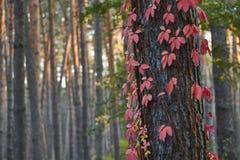 Den härliga klättringen för röd lönn sörjer på trädet i en skog under solnedgång arkivfoton