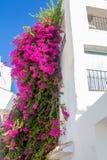 Den härliga klättringväxten med rosa färger blommar i ett vitt hus Arkivfoto