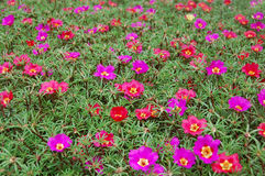 den härliga klockan blommar grandiflora portulacapurple Arkivbild