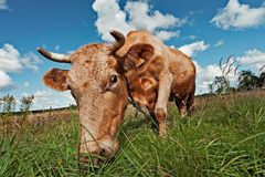 Den härliga kon betar på en äng och tuggar gräs arkivfoton