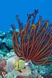 den härliga korallcrinoidfjädern arbeta i trädgården stjärnan Arkivfoton