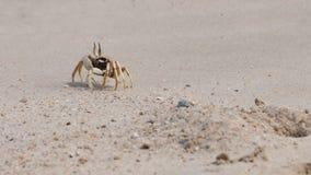 Den härliga krabban Arkivfoto