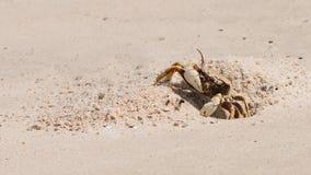 Den härliga krabban Fotografering för Bildbyråer