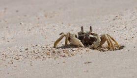 Den härliga krabban Royaltyfri Bild