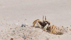 Den härliga krabban Royaltyfri Fotografi