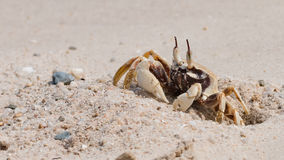Den härliga krabban Arkivfoton