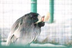Den härliga kranen gör ren dess fjädrar i den berömda Yarslav zoo Bild som tas mars 19, 2010 fotografering för bildbyråer