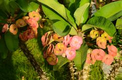 Den härliga kronan av taggar blommar med bladet och grön bakgrund royaltyfria foton