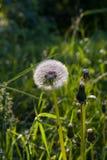 Den härliga lösa maskrosen blommar på grön ängbakgrund clo Arkivfoto