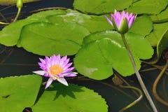 Den härliga lilan med vit blommar waterlily och sidor som blommar i dammet Royaltyfri Bild