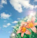 Den härliga liljan blommar bakgrund Royaltyfri Fotografi