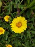 Den härliga lilla tusenskönan i guling efter regnet royaltyfri bild