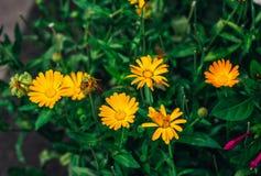 Den härliga ljusa gula krukaringblomman eller calendulaen blommar royaltyfri fotografi
