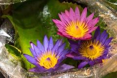 Den härliga lotusblommablomman är symbolet av Buddha, Thailand Fotografering för Bildbyråer