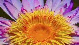 Den härliga lotusblommablomman är symbolet av Buddha, Thailand Royaltyfri Bild