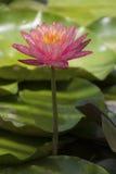 Den härliga lotusblommablomman är symbolet av Buddha, Thailand Arkivbild