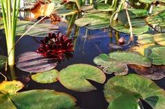 Den härliga lotusblommablomman ges en komplimang av de rika färgerna av yttersidan för djupblått vatten royaltyfria bilder
