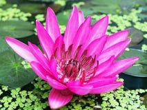 Den härliga lotusblomman Fotografering för Bildbyråer