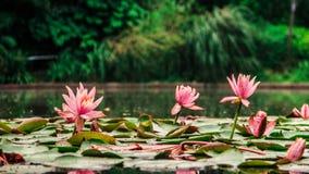 Den härliga lotusblomman i pölen Arkivfoton
