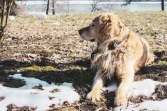 Den härliga lyckliga golden retrievervalpen i parkerar i hålla ögonen på för snö royaltyfria foton