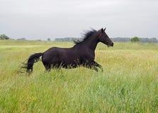 Den härliga mörker-fjärden stoen galopperar på fältet Arkivbild