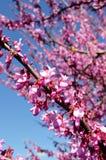 Den Algarve mandeltreen fjädrar blomningen Arkivfoton