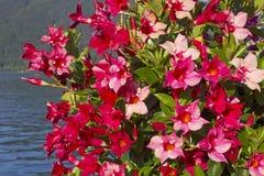 Den härliga mandevillaen blommar i rosa och rött, sjötegernseen Royaltyfria Bilder