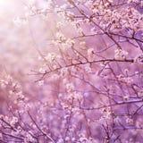 Körsbärsröd treeblomning Royaltyfri Foto
