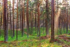 Den härliga naturen på morgonen i den dimmiga vårskogen med skogen för våren för solstrålar den magiska med solen rays Arkivbilder