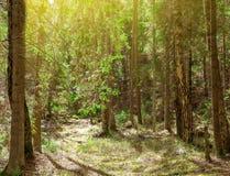 Den härliga naturen på morgonen i den dimmiga vårskogen med skogen för våren för solstrålar den magiska med solen rays Fotografering för Bildbyråer