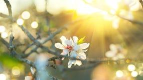 Den härliga naturplatsen med det blommande trädet och solen blossar royaltyfria foton