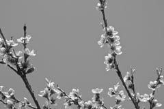 Den härliga nektarinen blommar trädet som blommar i vår i svartvitt Royaltyfri Fotografi