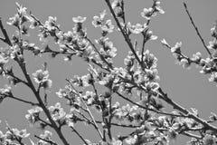 Den härliga nektarinen blommar trädet som blommar i vår i svartvitt Royaltyfri Foto