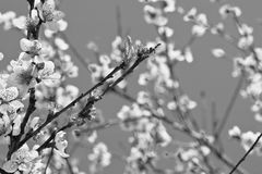 Den härliga nektarinen blommar trädet som blommar i vår i svartvitt Royaltyfria Foton