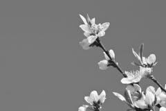 Den härliga nektarinen blommar trädet som blommar i vår i svartvitt Arkivfoto