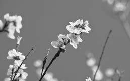 Den härliga nektarinen blommar trädet som blommar i vår i svartvitt Arkivbild