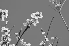 Den härliga nektarinen blommar trädet som blommar i vår i svartvitt Royaltyfri Bild