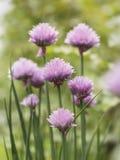 Den härliga nya rosa färgen blommar på gräslökar Arkivbilder