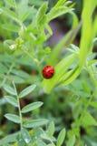 Den härliga nyckelpigan sitter på ett grönt blad efter regnet arkivfoton