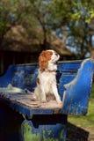 Den härliga och enfaldiga stolta unga hunden för konungen Charles Spaniel sitter på bänk och att solbada för tappningblått Royaltyfria Bilder