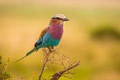 Den härliga och färgrika fågeln Lila-gick mot rullCoraciascaudatus från naturreserven Mara North Conservancy i Kenya royaltyfri bild