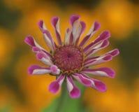 Den härliga och vibrerande zinniaen royaltyfri foto