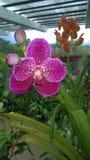Den härliga orkidén blommar Sri Lanka 01 Royaltyfria Foton