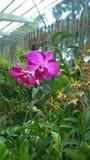 Den härliga orkidén blommar Sri Lanka 01 Arkivbilder
