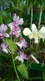 Den härliga orkidén blommar Sri Lanka 01 Arkivfoton
