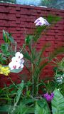 Den härliga orkidén blommar Sri Lanka 01 Fotografering för Bildbyråer