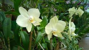 Den härliga orkidén blommar Sri Lanka 01 Arkivfoto