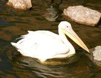 Den härliga pelikan simmar i ett damm Arkivfoto