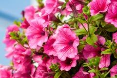 Den härliga petunian blommar med droppar av vatten efter ett regn royaltyfria bilder